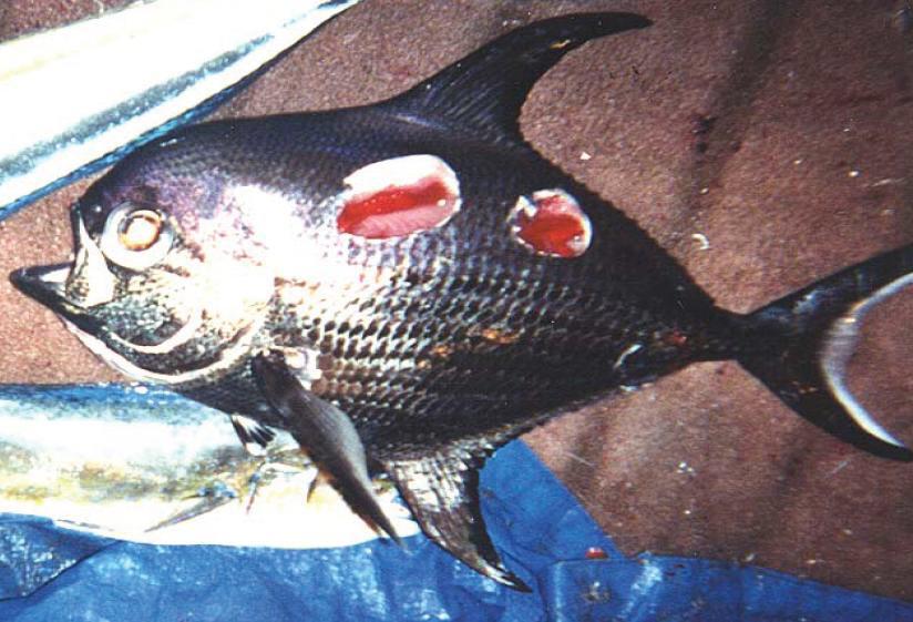 boomfish.jpg